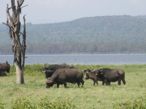 Buffels in Lake Nakuru National Park