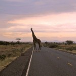 Giraffe op de weg naar Oloitokitok