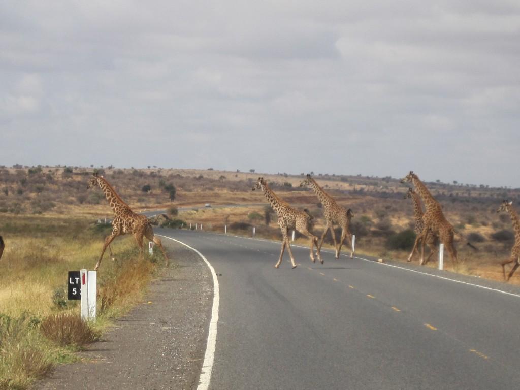 Giraffes op de weg naar Oloitokitok