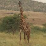 giraffe naast de weg